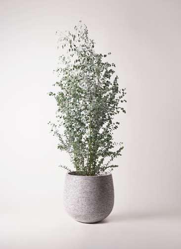 観葉植物 ユーカリ 10号 グニー エコストーンGray 付き
