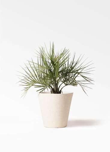 観葉植物 ココスヤシ (ヤタイヤシ) 10号 フォリオソリッド クリーム 付き