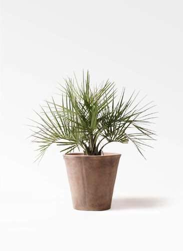 観葉植物 ココスヤシ (ヤタイヤシ) 10号 ルーガ アンティコ ソリッド 付き