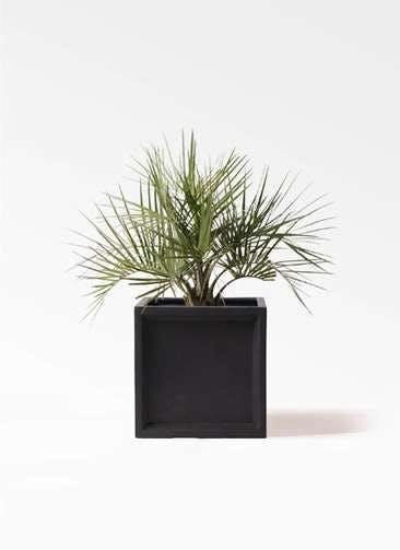 観葉植物 ココスヤシ (ヤタイヤシ) 10号 ブリティッシュキューブ 付き