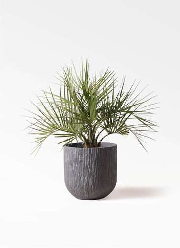 観葉植物 ココスヤシ (ヤタイヤシ) 10号 カルディナダークグレイ 付き
