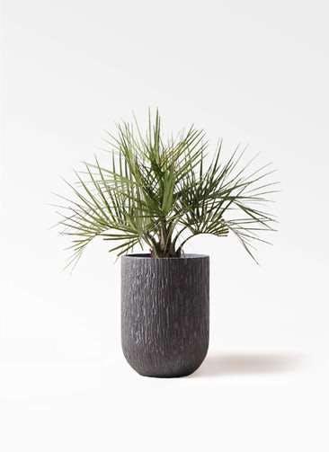 観葉植物 ココスヤシ (ヤタイヤシ) 10号 カルディナトールダークグレイ 付き