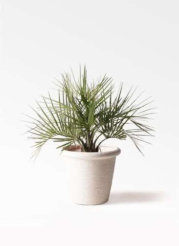 観葉植物 ココスヤシ (ヤタイヤシ) 10号 ビアスリムス 白 付き