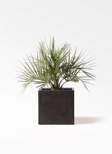観葉植物 ココスヤシ (ヤタイヤシ) 10号 ファイバークレイ キューブ 付き