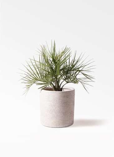 観葉植物 ココスヤシ (ヤタイヤシ) 10号 サンディ シリンダー 白 付き