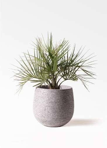 観葉植物 ココスヤシ (ヤタイヤシ) 10号 エコストーンGray 付き