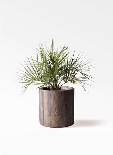 観葉植物 ココスヤシ (ヤタイヤシ) 10号 アルファシリンダープランター 付き
