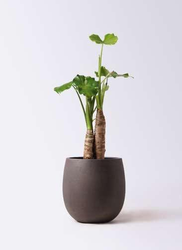 観葉植物 クワズイモ 8号 テラニアス バルーン アンティークブラウン 付き