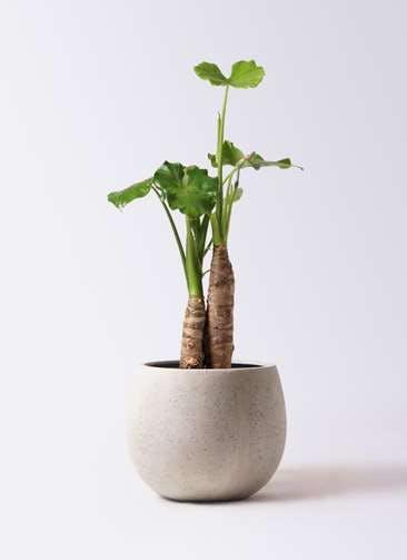 観葉植物 クワズイモ 8号 テラニアス ローバルーン アンティークホワイト 付き