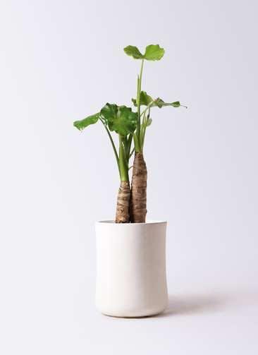観葉植物 クワズイモ 8号 バスク ミドル ホワイト 付き