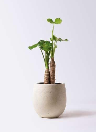 観葉植物 クワズイモ 8号 テラニアス バルーン アンティークホワイト 付き
