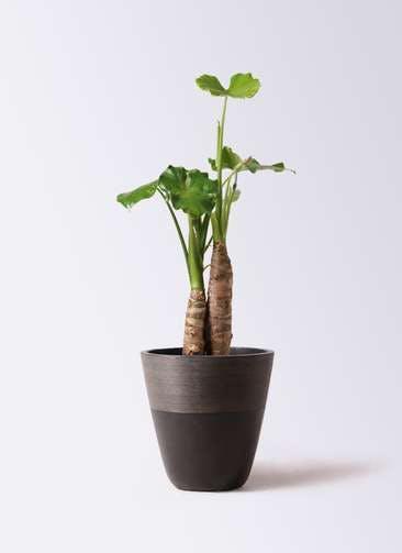 観葉植物 クワズイモ 8号 ジュピター 黒 付き