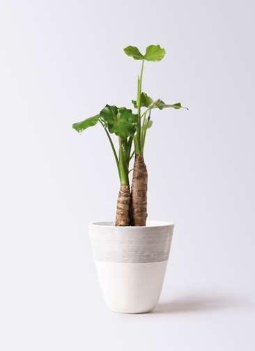 観葉植物 クワズイモ 8号 ジュピター 白 付き