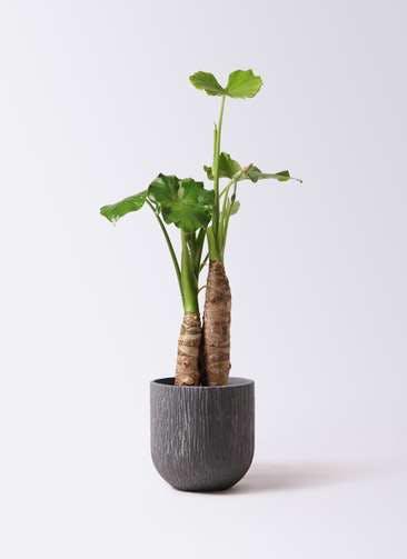 観葉植物 クワズイモ 8号 カルディナダークグレイ 付き