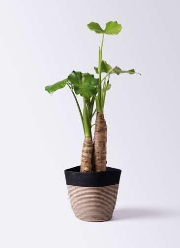観葉植物 クワズイモ 8号 リブバスケットNatural and Black 付き