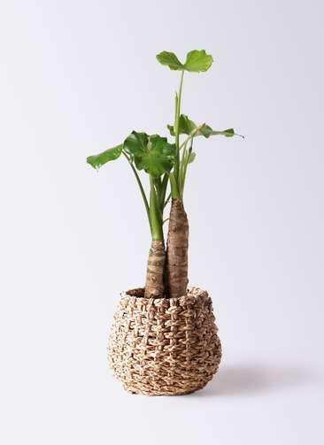 観葉植物 クワズイモ 8号 ラッシュバスケット Natural 付き