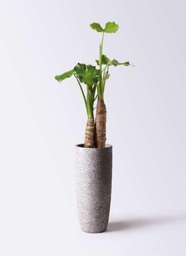 観葉植物 クワズイモ 8号 エコストーントールタイプ Gray 付き