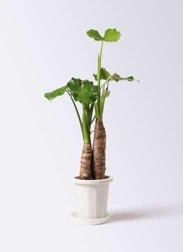 観葉植物 クワズイモ 8号 プラスチック鉢