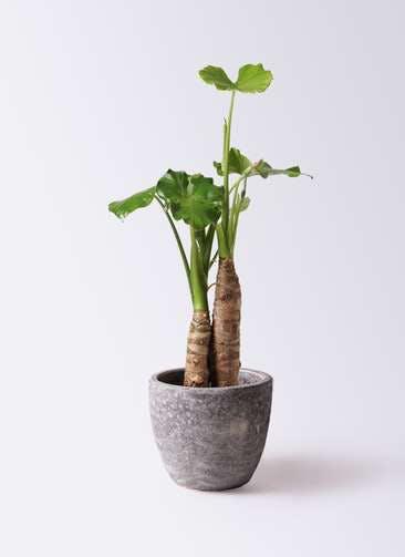 観葉植物 クワズイモ 8号 アビスソニアミドル 灰 付き