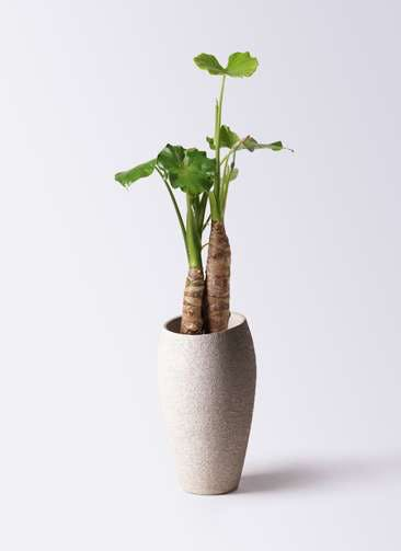 観葉植物 クワズイモ 8号 エコストーントールタイプ Light Gray 付き