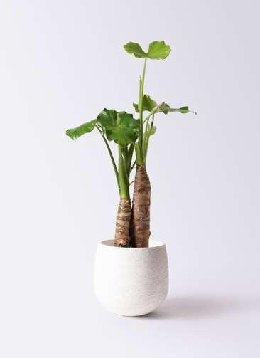 観葉植物 クワズイモ 8号 エコストーンwhite 付き