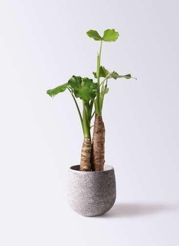 観葉植物 クワズイモ 8号 エコストーンGray 付き