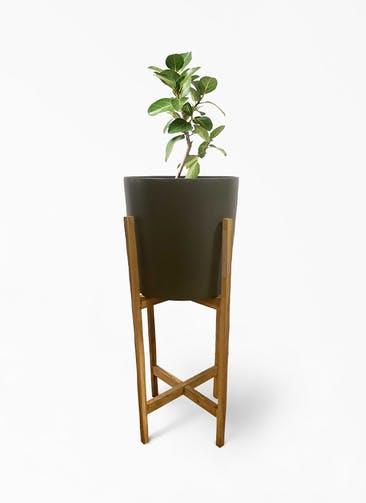 観葉植物 フィカス ベンガレンシス 6号 ストレート ホルスト シリンダー オリーブ ウッドポットスタンド付き