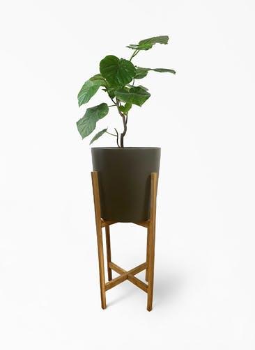 観葉植物 フィカス ウンベラータ 6号 ノーマル ホルスト シリンダー オリーブ ウッドポットスタンド付き