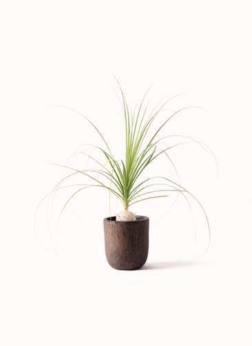 観葉植物 トックリラン 6号 ビトロ ウーヌム コッパー釉 付き