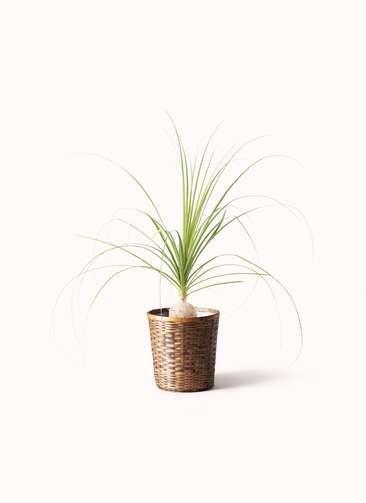 観葉植物 トックリラン 6号 竹バスケット 付き