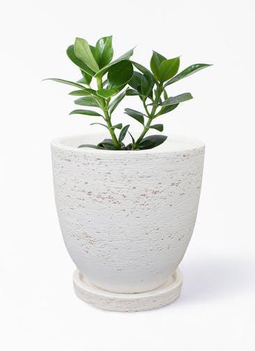 観葉植物 クルシア ロゼア プリンセス 4号 ブロンクス ラウンド  ホワイト 付き