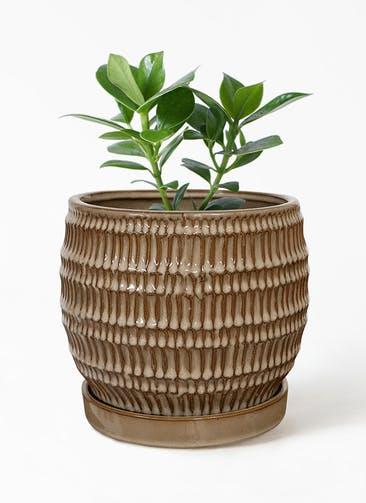 観葉植物 クルシア ロゼア プリンセス 4号 クラッツ シノ  クリーム 付き