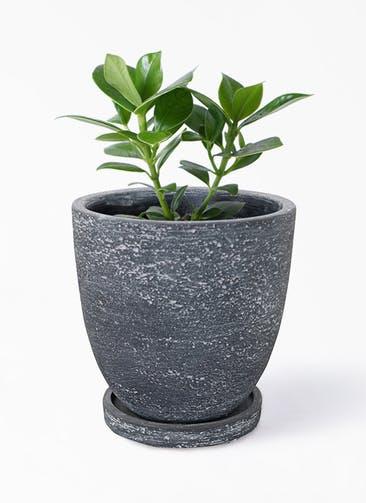 観葉植物 クルシア ロゼア プリンセス 4号 ブロンクス ラウンド  ブラック 付き