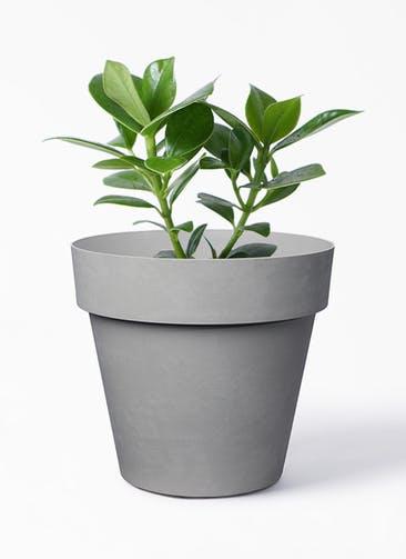 観葉植物 クルシア ロゼア プリンセス 4号 ライク ラウンド  グレー 付き