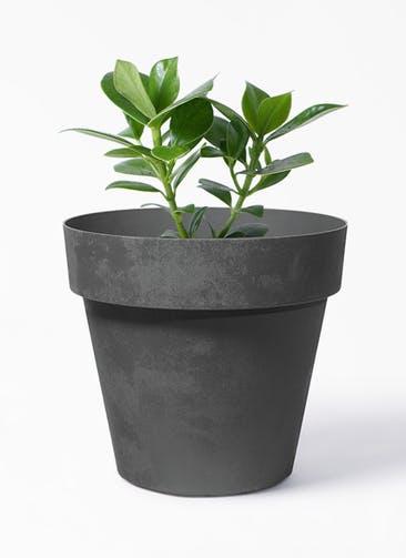 観葉植物 クルシア ロゼア プリンセス 4号 ライク ラウンド  ブラック 付き