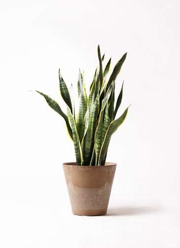 観葉植物 サンスベリア 8号 トラノオ アートストーン ラウンド ベージュ 付き