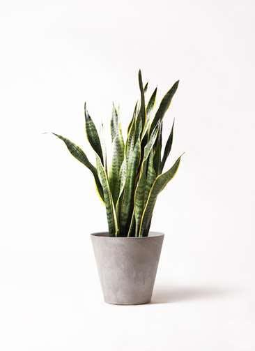 観葉植物 サンスベリア 8号 トラノオ アートストーン ラウンド グレー 付き