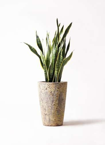 観葉植物 サンスベリア 8号 トラノオ アトランティス クルーシブル 付き