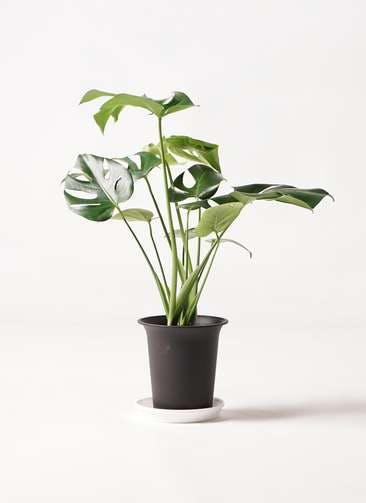 観葉植物 モンステラ 6号 ボサ造り プラスチック鉢