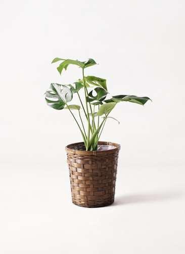 観葉植物 モンステラ 6号 ボサ造り 竹バスケット 付き
