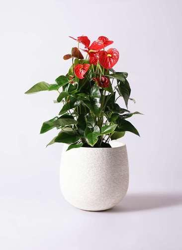 観葉植物 アンスリウム 10号 ダコタ エコストーンwhite 付き