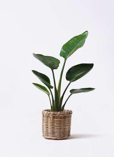 観葉植物 オーガスタ 6号 グレイラタン 付き