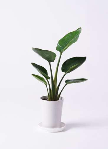 観葉植物 オーガスタ 6号 プラスチック鉢