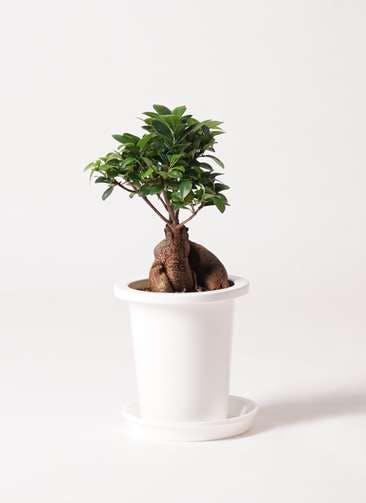観葉植物 ガジュマル 6号 股仕立て プラスチック鉢