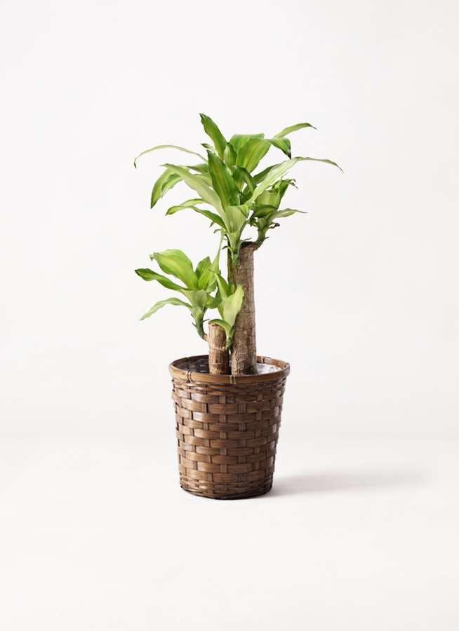 観葉植物 ドラセナ 幸福の木 6号 ノーマル 竹バスケット 付き