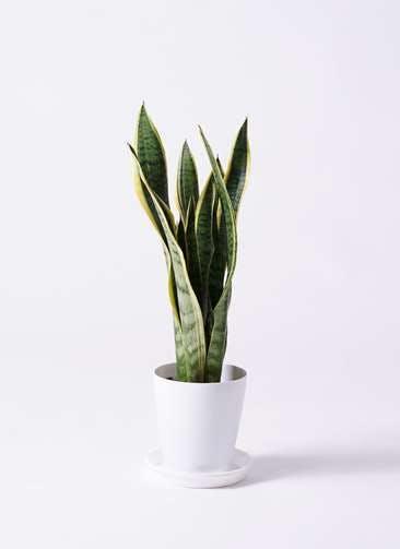 観葉植物 サンスベリア 6号 トラノオ プラスチック鉢