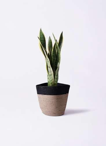 観葉植物 サンスベリア 6号 トラノオ リブバスケットNatural and Black 付き