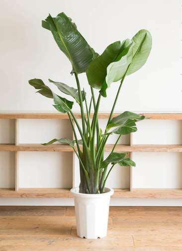 観葉植物 オーガスタ 10号 プラスチック鉢