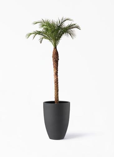 観葉植物 フェニックスロベレニー 10号 ポリッシュ トール  チャコール 付き