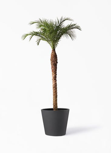 観葉植物 フェニックスロベレニー 10号 ポリッシュ コニック  チャコール 付き